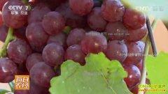 [每日农经]云南蒙自张艳丽盆栽葡萄每亩收入30万元