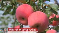 [科技苑]陕西乾县双矮一滴技术解决苹果种植大难题