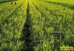 山西大同县:种植黄花菜成农民致富好项目