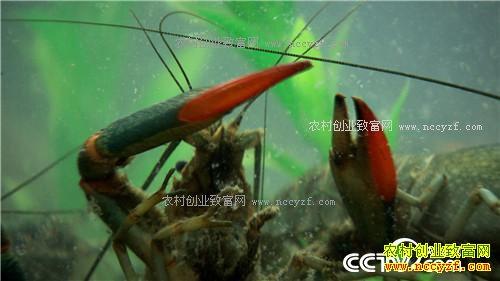 [致富经]广东佛山张铭华养殖蓝色澳洲淡水龙虾年入800万