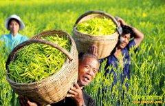 山西大同县种植黄花菜成农民致富路上好项目