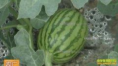 [农广天地]西瓜一种三收种植技术视频