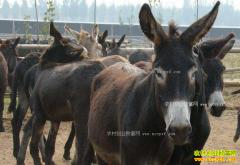 养驴赚钱吗?种肉驴养殖成本和效益分析