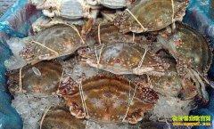 山东威海:清明节前后 梭子蟹价格上涨明显