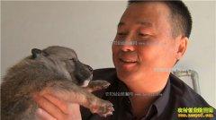 [致富经]新疆清河县高伟东养狼年赚百万元