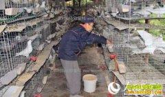 四川巴中冯相全养殖肉鸽年收入7万多元圆了致富梦