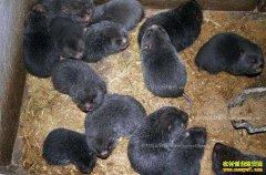 贵州天柱杨光武养殖竹鼠900只年收入30多万元