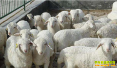 育肥羊价格开涨 养羊户仍要谨慎入行