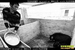 河北大城县:养殖蕨麻猪成农民致富好项目