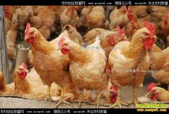 2017年4月20日最新肉鸡、817毛鸡、淘汰鸡价格行情