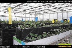 新疆朱法辉大棚草莓套种蘑菇+豇豆 一棚收入十万元