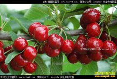 种植大樱桃赚钱吗?大樱桃种植前景及关键技术