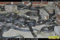 """湖南慈利县""""蛇司令""""胡昌汉的养蛇致富经"""