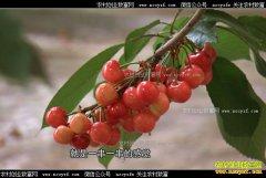 [致富经]北京密云卓光华大棚种植大樱桃一颗卖到七块钱