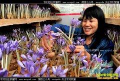 江西余江县张单英种植藏红花走上致富路