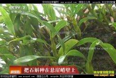 [科技苑]广东广州刘志霞把金钗石斛种在悬崖峭壁上
