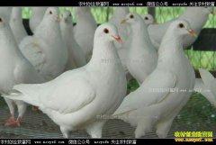 湖北枣阳大学生李洋洋返乡创业养殖肉鸽创业致富