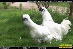 [致富经]江西泰和彭建军养殖乌鸡的快乐财富
