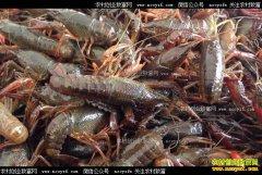 重庆云阳县姚世权养殖小龙虾年入70万元