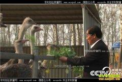 [致富经]北京72岁老人陈平安二次创业养殖鸵鸟