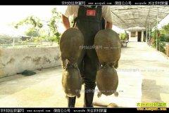 [致富经]广西玉林陈茂展养殖甲鱼年入4000万元