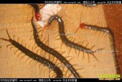 养蜈蚣赚钱吗?蜈蚣养殖前景及养殖技术要点
