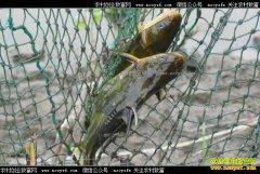 怎样养殖黄颡鱼?黄颡鱼养殖技术要点