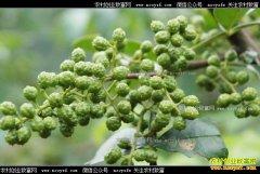 重庆云阳青花椒上市每斤售价40元