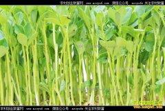 种植芽苗菜赚钱吗?芽苗菜种植前景及效益分析