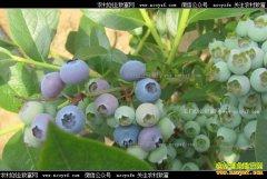 北方大棚蓝莓上市 蓝莓批发价格每斤20-40元