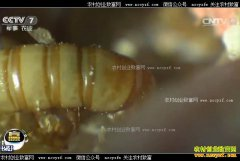 """[科技苑]山东""""虫子王""""刘玉升的黄粉虫大军"""