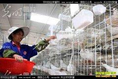 江西遂川县大学生刘海燕生态养鸽子致富村民