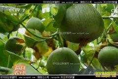 [每日农经]辽宁北镇杜可欣大棚种植的脆宝甜瓜提前卖