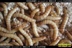 山东汶上县徐炳强养殖黄粉虫年赚20余万元