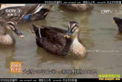 [每日农经]浙江奉化董士海养殖野鸭靠鸭蛋赚钱