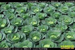 安徽凤阳十几万斤包菜滞销