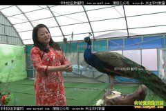 [致富经]内蒙古乌兰浩特周海燕养殖孔雀年入300万