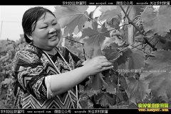 重庆潼南周兴美抱团种葡萄效益好