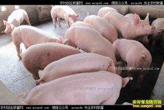 吉林辽源养猪达人李云召养猪年销售额1600万元