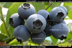 贵州紫云硐口村:生态种植蓝莓成农民脱贫致富好项目