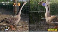[每日农经]安徽五河李敬养殖会飞的大雁好赚钱
