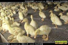 养鸭赚钱吗?养殖10000只肉鸭成本与利润分析