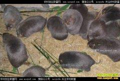 四川泸州刘生财养殖竹鼠收益高