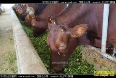 贵州安顺市叶江种草养牛带动乡亲奔富路
