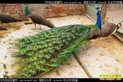 养孔雀赚钱吗?重庆南川骆连华养殖孔雀好致富