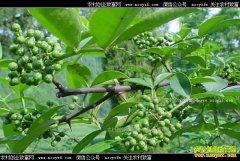 重庆南川新花椒上市价格上涨