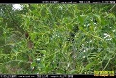 怎样防治枣树枣瘿蚊和红蜘蛛?