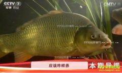 [科技苑]当年上市的超级鲤鱼津新鲤2号养殖技术
