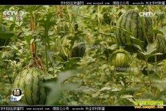 [每日农经]吊起来种植的仁风西瓜卖价高