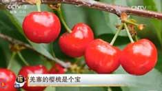 [每日农经]四川理县羌寨的樱桃是个宝